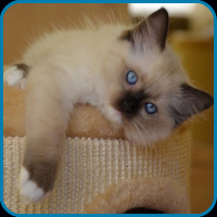 Tiffany - Seal Colorpoint Ragdoll