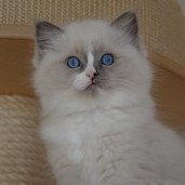 Unique – RAG                             a 04 – blue mitted ragdoll