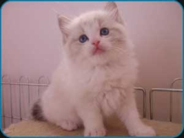 Faith – Seal lynx bicolour Ragdoll