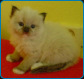 Axel – Mitted Ragdoll
