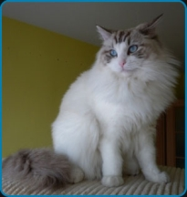 Faith - seal lynx bicolor – high mitted Ragdoll