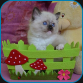 Iron – RAG n 04 – seal mitted ragdoll