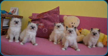 5 seal mitted ragdoll kittens