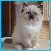 Olivia – RAG a – blue colorpoint ragdoll