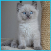 Oliver – RAG a – blue colorpoint ragdoll