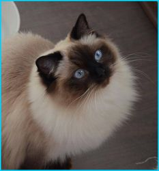 Cecilie - seal colorpoint Ragdoll