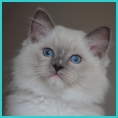 Power – RAG a 04 – blue mitted ragdoll