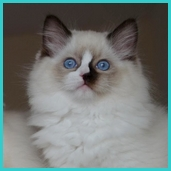 Polly – RAG n 04 – seal mitted ragdoll